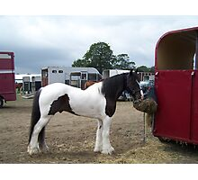 Gypsy Vanner .. a stallion Photographic Print