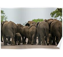 Elephants (Loxodonta africana) Poster