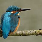 Kingfisher- IV (Alcedo atthis) by Peter Wiggerman