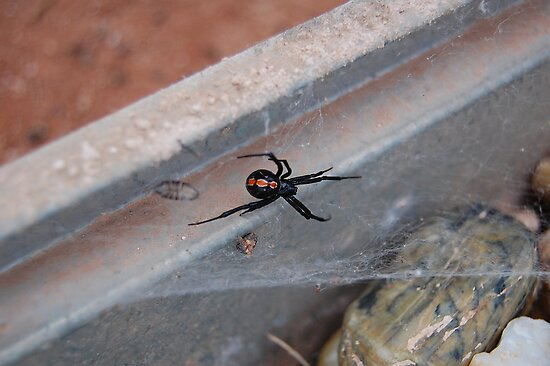 Western black widow juvenile by Teri Billington