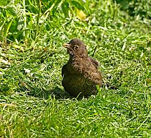 Female blackbird by Daveart