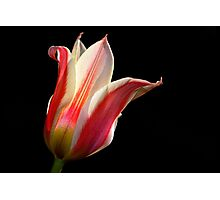 Tulip - Red and White Photographic Print