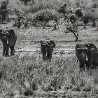 Three Elephants (Loxodonta africana) by Deborah V Townsend