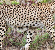 Cheetah (Acinonyx jubatus) Sticker