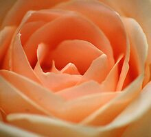 MY PEACH ROSE by Magaret Meintjes