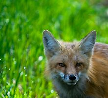 Green &  Red Fox by Jay Ryser