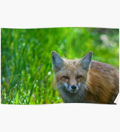 Green &  Red Fox Poster