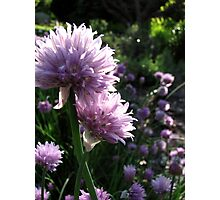 Chive Flowers Photographic Print