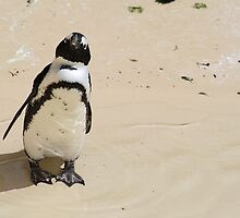African Penguin at the Zoo by haley-cat