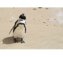 African Penguin at the Zoo Photographic Print
