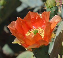 Cactus Flower Center by Kathleen Brant