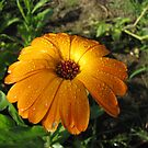 Marigold in Rain by orko