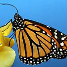 Monarch by Ken Boxsell
