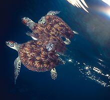 Green Sea Turtle by Carlos Villoch