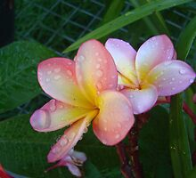 Pink Drops by Martice