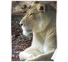 Lioness Resting Poster
