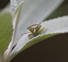 Shield Bug by phoenixlament