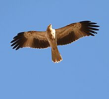 Whistling Kite In Full Flight by JulieMahony
