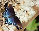 Red-spotted Purple by elasita