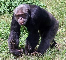Ngamba Island chimp by Roller