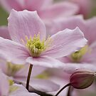 Clematis Montanna by Jenn Ridley