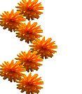 Orange Dahlia  by Deborah McGrath