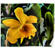 Yellow Cattleya Orchid Poster
