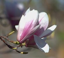 Tulip Tree by Kathi Arnell