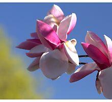 Magnolia by Kathi Huff