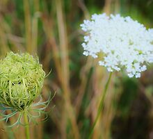 Queen Anne's Lace by Scott Mitchell