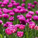 Field of Tulips by Sharlene Rens