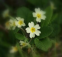 Pretty Spring Primrose by orchidcat