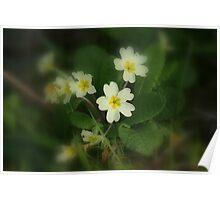 Pretty Spring Primrose Poster
