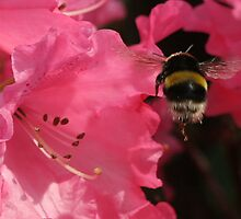 Bumble bee by orchidcat