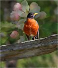 Robin with Blossoms  by Elaine  Manley