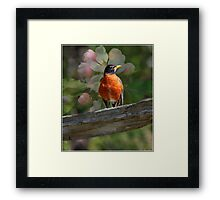 Robin with Blossoms  Framed Print