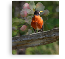 Robin with Blossoms  Canvas Print
