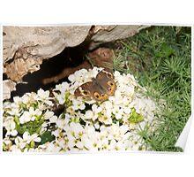 Buckeye Butterfly II Poster