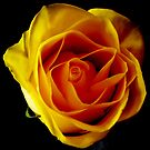 Yellow Rose by Rebecca Silverman