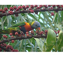 Rainbow Lorrikeet Feasting on the Umbrella  Trees Deliscious Red Fruit Photographic Print