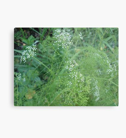 Wild Carrots (I think) Metal Print