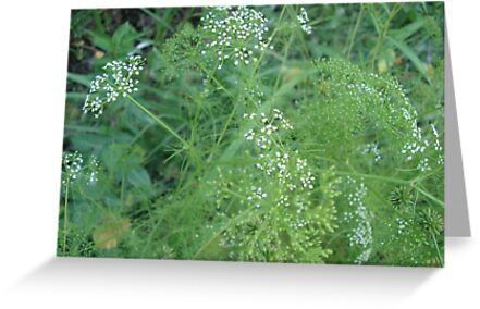 Wild Carrots (I think) by May Lattanzio