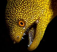 Abbott's moray eel by Douglas Stetner