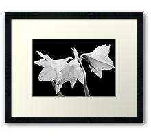 White Amaryllis Flower Framed Print