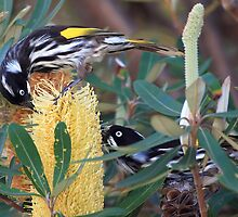 New Holland Honey Eaters - Corrimal, NSW by Darren Post
