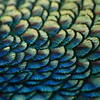 Peacock Feathers by godders