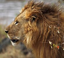Profile Portrait, Large Male Lion #2, Maasai Mara, Kenya  by Carole-Anne