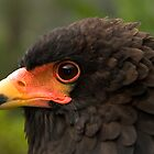 Bateleur Eagle by Frank Yuwono