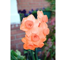 Peach Daffodils Photographic Print