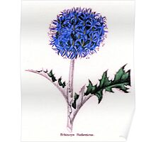 Echinops Ruthenicus or Russian Globe Thistle Poster